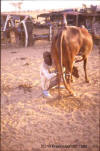 Cow: photo of man milking a cow